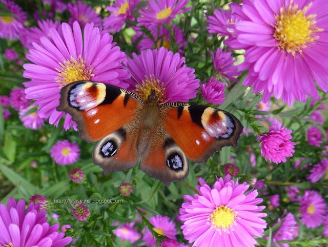 Schmetterling Tagpfauenauge auf Herbstaster