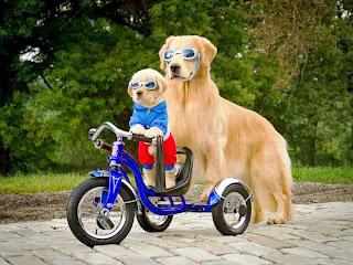 perros APRENDIENDO A MONTAR en bisi