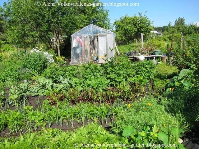 аленин сад, часть3, до, после, участок, дача, освоение участка, целина, сад, огород, старая теплица, грядки, лук порей, капуста ранняя