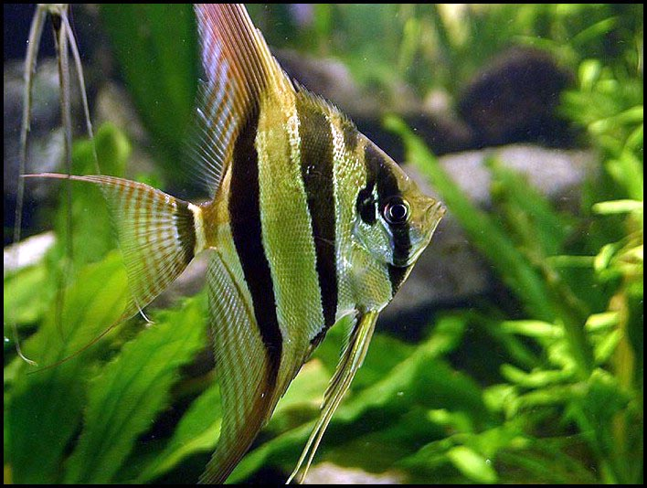 Fish pictures angelfish pterophyllum scalare for Freshwater angel fish