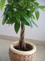 Παχίρα / money tree