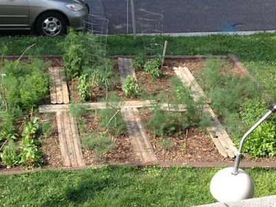 photograph of my garden with lots of dill plants growing.