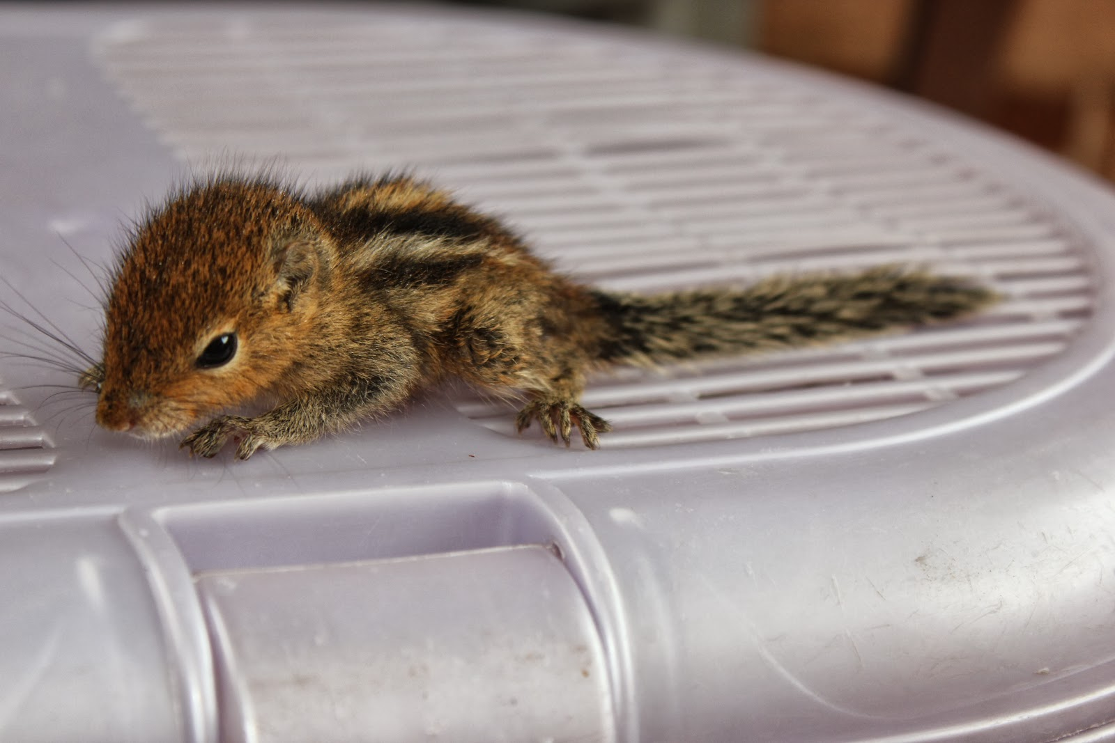 Squirrel baby lost - photo#9