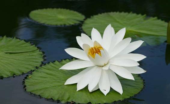 Rumus dan diagram bunga dengan rumus bunga p4 4 8 4 4 a g22 didapat keterangan bahwa bunga teratai nymphaea lotus adalah bunga banci dengan banyak simetri ccuart Image collections
