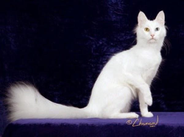 Photo chat angora