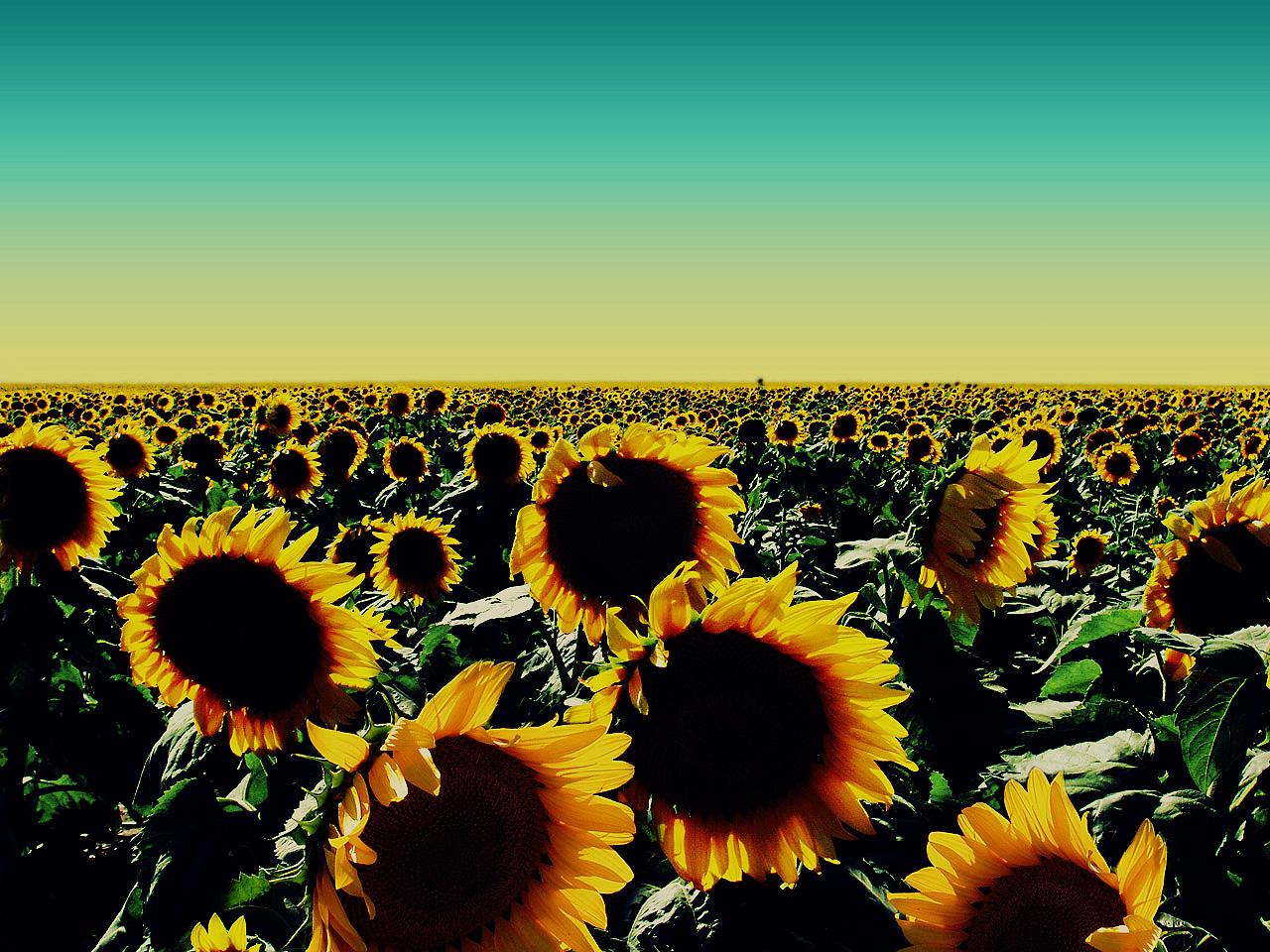 http://4.bp.blogspot.com/-66u89WJedrE/Tg3q6VDyrTI/AAAAAAAAANg/WLLcgU3SSmc/s1600/Sunflower_Wallpaper_by_kpy5330.jpg