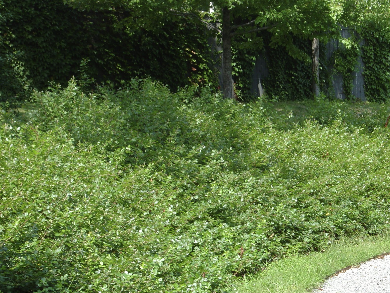 How to plant ground cover on steep bank - I First Saw A Stand Of It Growing On A Bank At Arnold Arboretum In Boston Massachusetts It Forms A Dense Groundcover
