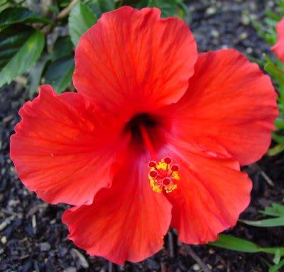 Khasiat Bunga Hibiscus
