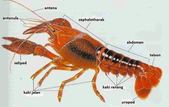 Bentuk Tubuh Lobster Air Tawar