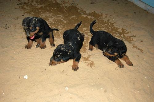 Champion Rottweilers Puppies Labrador German Shepard Beagle