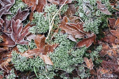 Liverwort, I think, and Big-leaf Maple Leaves