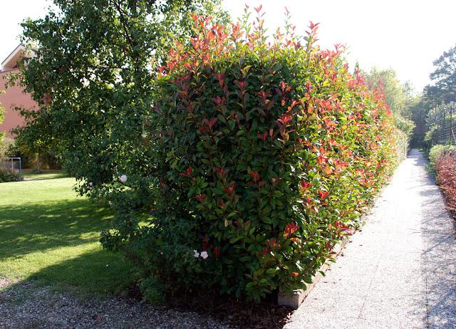 Il mondo in un giardino consigli per la potatura delle siepi for Piante per siepi sempreverdi