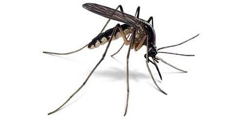 Rengit lebih gatal daripada nyamuk, tanda kesan digigit rengit, kawasan terdapat banyaknya rengit, musim hujan tengkujuh musim adanya rengit, cara rawat selepas digigit rengit nyamuk