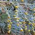 Αρτεμισία: To «θαυματουργό» φυτό της Κρήτης που σκοτώνει καρκινικά κύτταρα