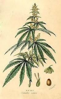 Hemp Plant