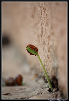 Tamarind Seedling