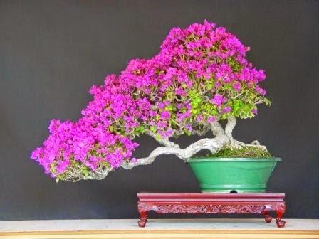 bonsai bougenville