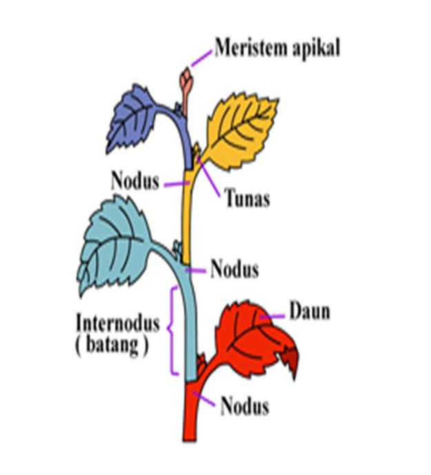 Struktur jaringan tumbuhan perbedaan sel hewan dan tumbuhan perhatikan letak meristem apikal ccuart Choice Image