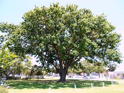 Ou boom voor die pastorie van NG Moedergemeente George