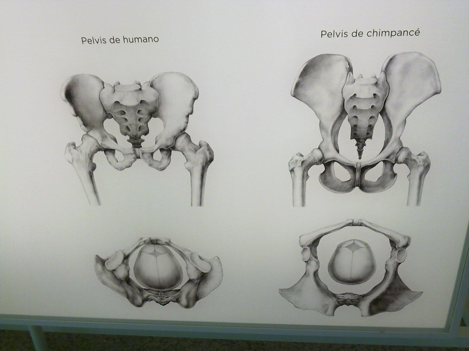 Asombroso Anatomía Femenina De La Cadera Ideas - Anatomía de Las ...