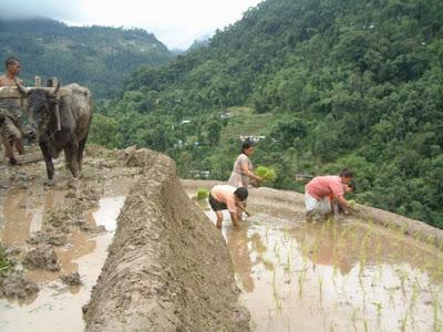 Planting organic rice in sikkim