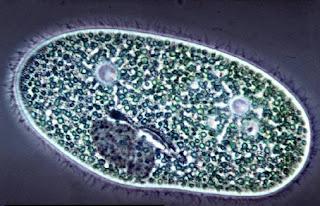 Protozoz ciliados