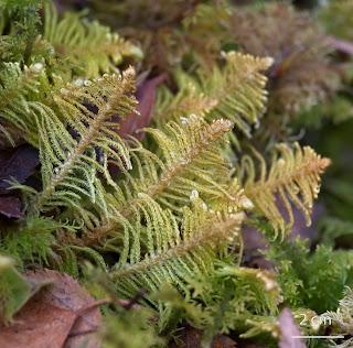 Musgo Ptilium crista-castrensis de la familia Hypnaceae