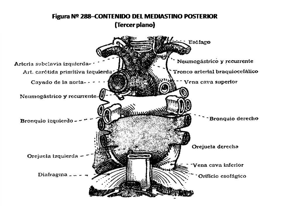 ATLAS DE ANATOMÍA HUMANA: 288. CONTENIDO DEL MEDIASTINO POSTERIOR ...