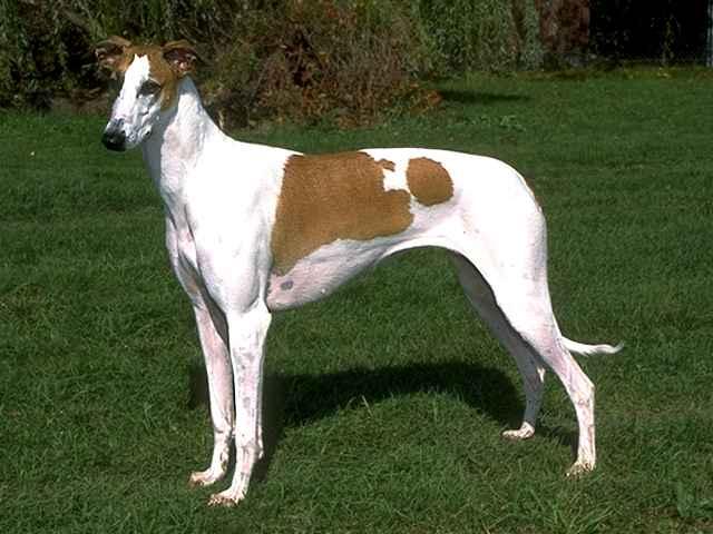 Dog Breed Directory: Greyhound Dog Breed