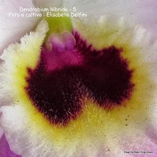 Dendrobium , Orquidea Olho de Boneca