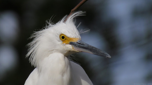 Snowy Egret Egretta thula Garça-branca-pequena Garceta Blanca