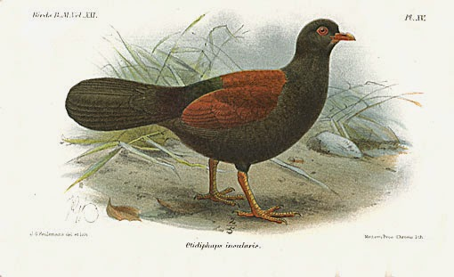 Black naped pheasant pigeon