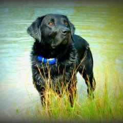 black Lab by water