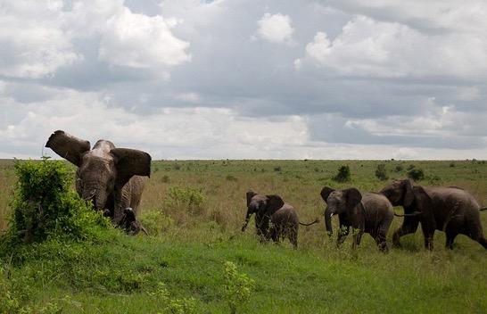 Aksi Menggerunkan Gajah Belasah Kerbau Sampai Mati