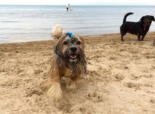 Montrose dog beach Chicago Rocco Havanese