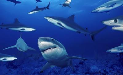 Tiburones en manana