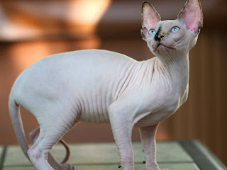Jenis Kucing Sphynx