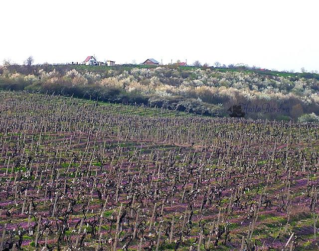 peisaj primavara gramma wines iasi