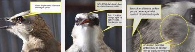 Tips Merawat Burung Trucukan