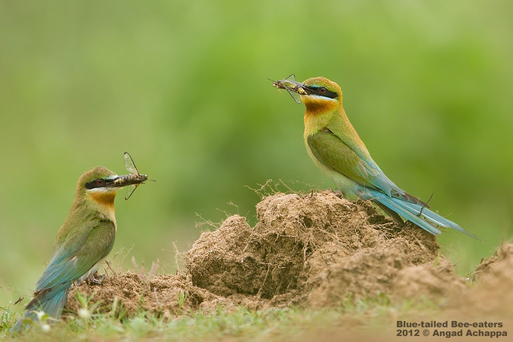 Blue Tailed Bee Eater Migration of Blue-tailed Bee-eaters