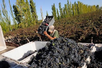 La vendimia es la primera fase de la elaboración del vino