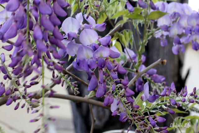 Wisteria spring blossom