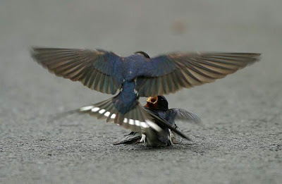 male bluebird feeding mate