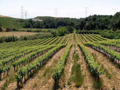 Camp de vinyes desprès de la Riera de Claret. A dalt i a l'esquerra de la imatge podem observar les terres de l'Abocador de Can Mata