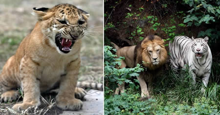 9 Binatang Unik Hasil Persilangan