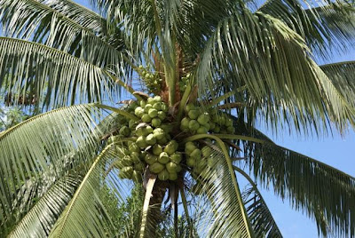a palm tree heavy with green coconuts