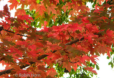 Red, Yellow, and Green Maple Leaves on Trees