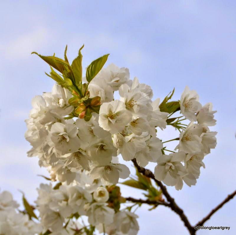 Cherry Blossom, Keukenhof Gardens, The Netherlands
