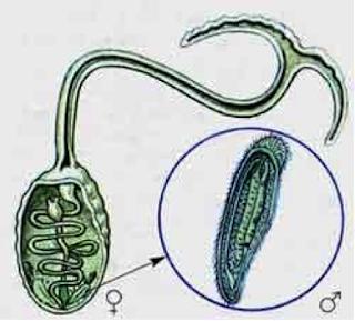 bonellia viridis