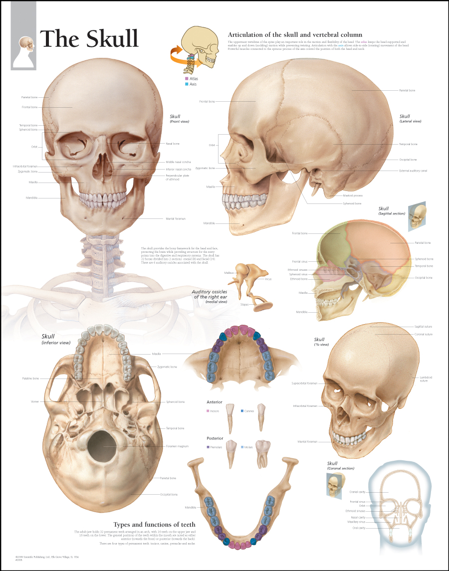 Human Body System Inside The Human Skull